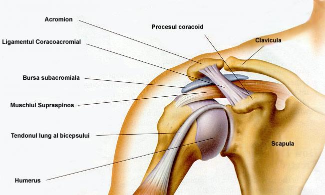 anatomie umar